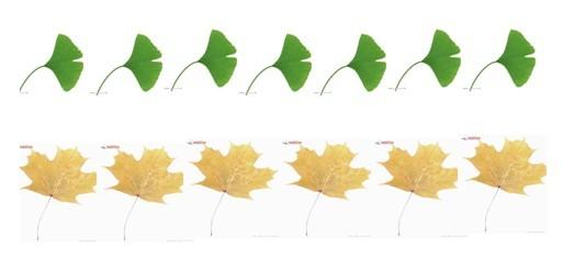 幼儿先看到一样长的两排树叶,大部分表示是一样多的.