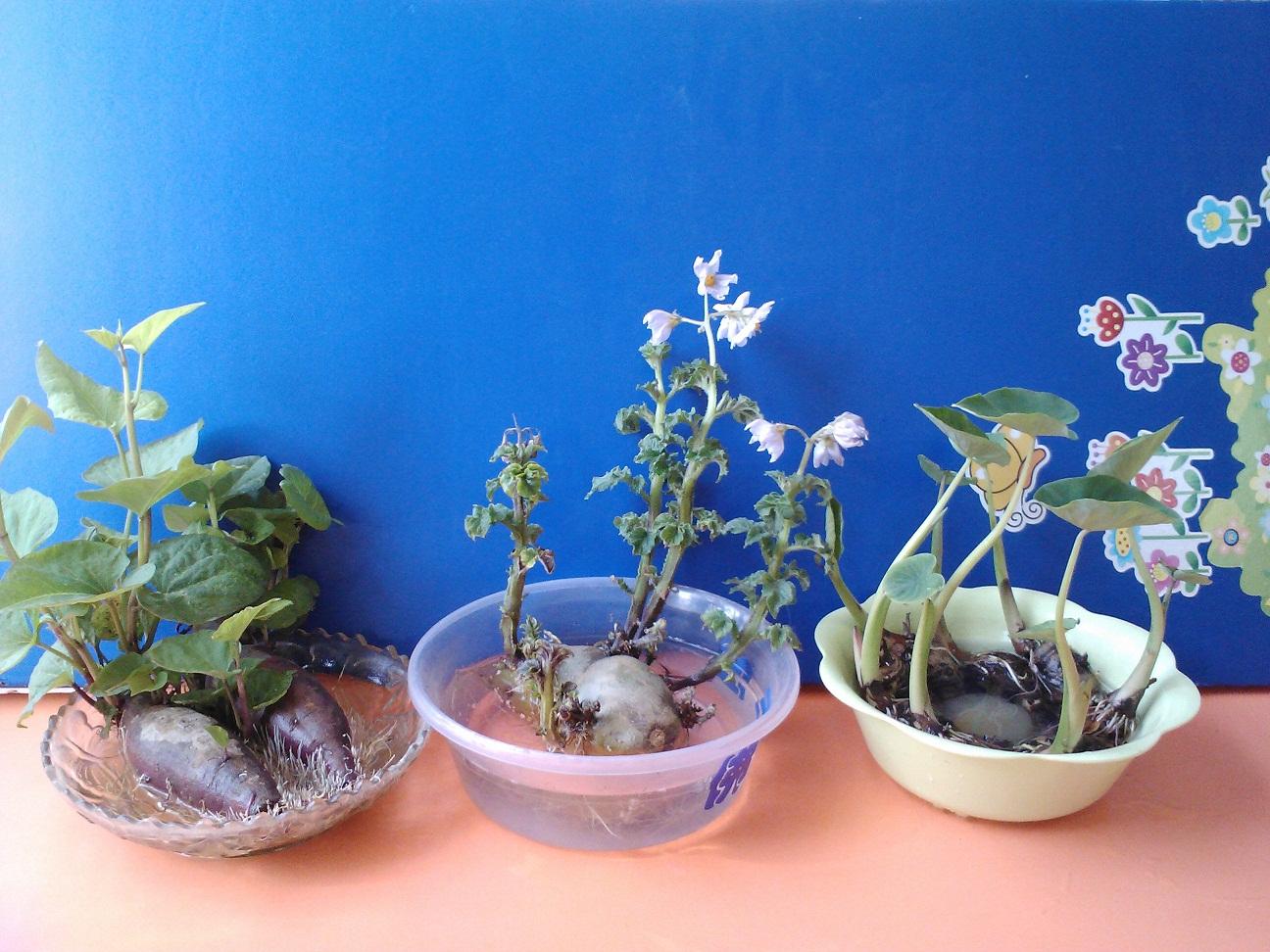 园所主页 班级主页 实验东园大四班 班级相册  自然角的植物发芽了