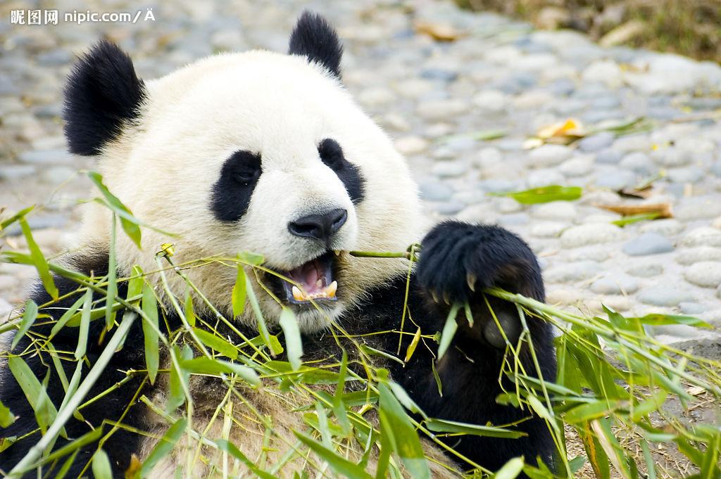 熊猫吃竹叶简笔画