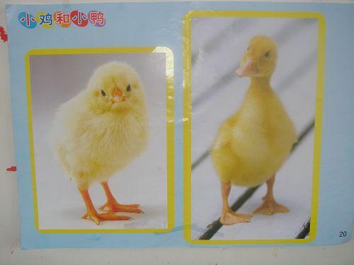 主题专列 在动物园里 活动掠影二:美术--小鸡小鸭
