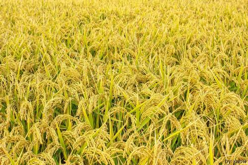 知道水稻的生长过程吗 -中二班