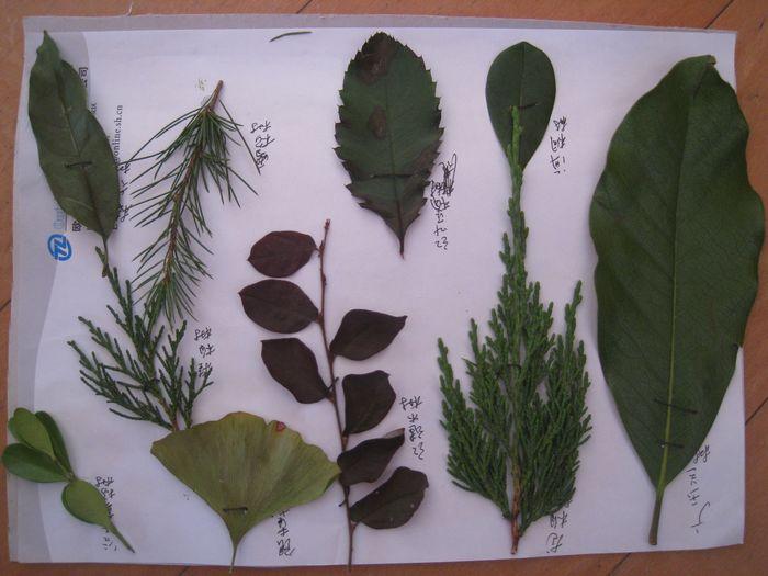 树叶标本制作方法